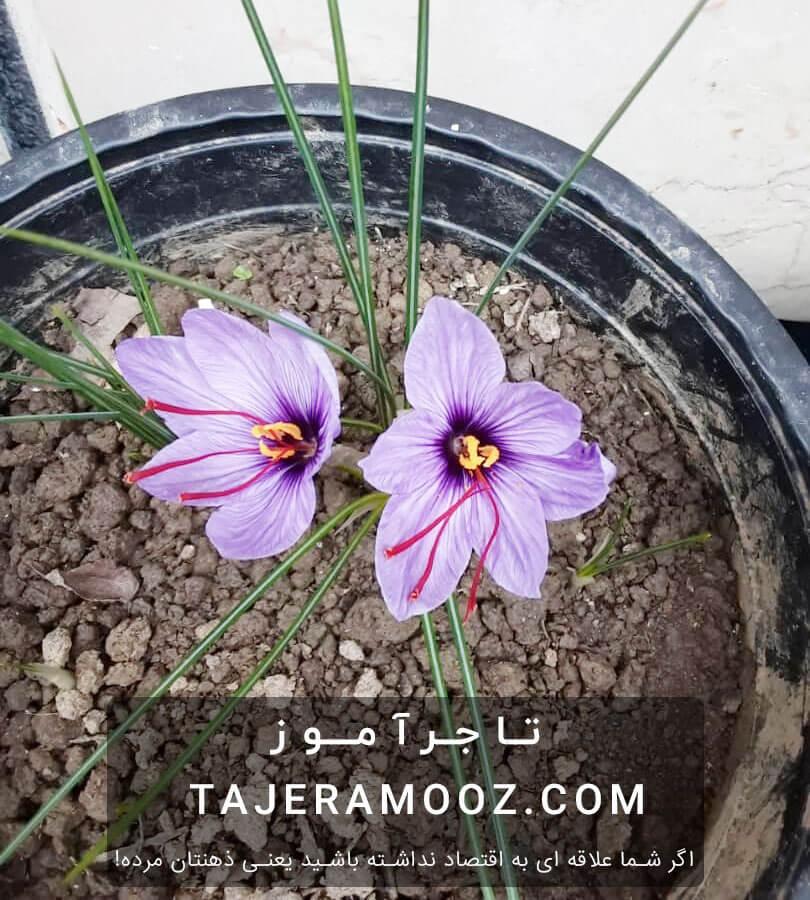 هر پیاز زعفران چند گل میدهد