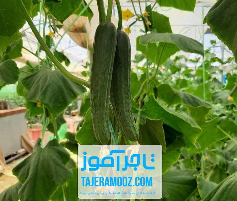 کسب درآمد از پرورش خیار گلخانه ای